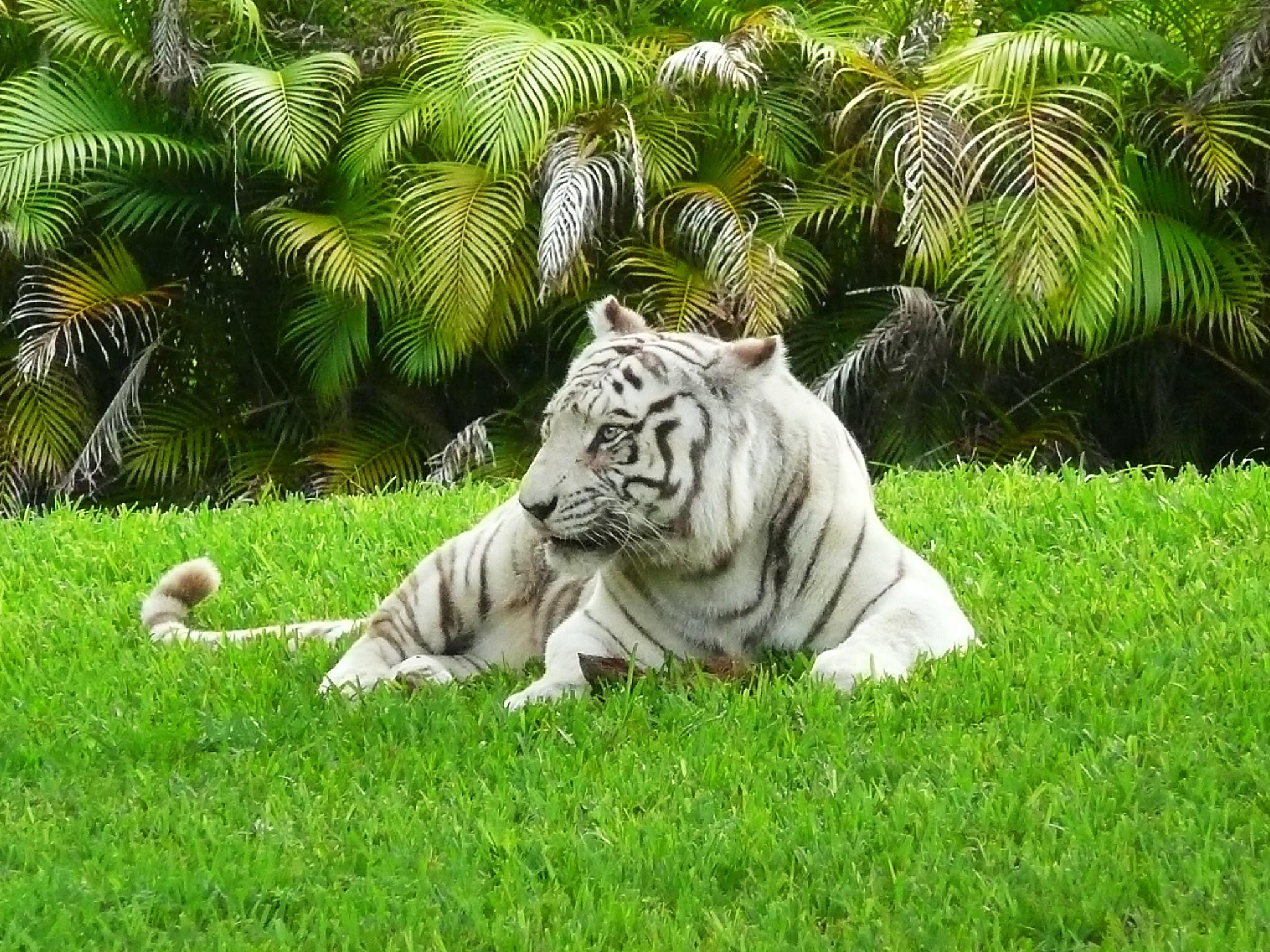 white_bengal_tiger_miami_metrozoo